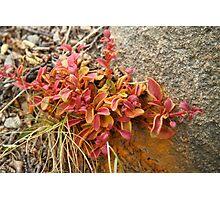 Fire bush Photographic Print