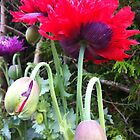 frilly poppy by Jeannine de Wet