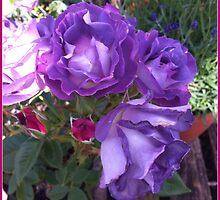 purple rose by Jeannine de Wet