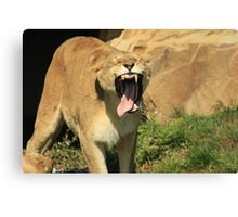 Lioness Toothless Yawn Canvas Print