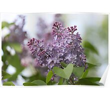 Lilac in Bloom Poster