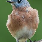 Bluebird Visit by Bonnie T.  Barry
