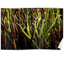 Garden of Euphorbia Poster