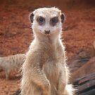 Meerkat by rapplatt