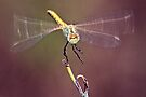 Dragon fly by jimmy hoffman