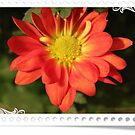 A pretty orange daisy flower in stamp  frame. Floral photo art.. by naturematters