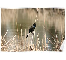 Common Grackle on Marsh Grass Poster