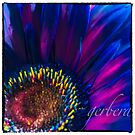 Gerbera In Pink & Blue by Jessica Manelis
