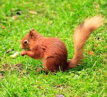 Red Squirrel  by Ian Jeffrey