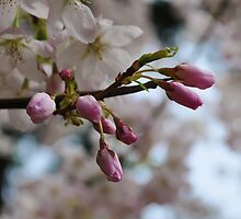 The cherry tree in Spring by Judy Schwartz Haley