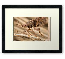 'Brown Shield Bug (a.k.a Stink Beetle)' Framed Print