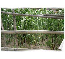 Rail Fence Beside a Corn Field Poster