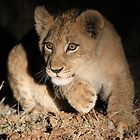Cub action!! by jozi1