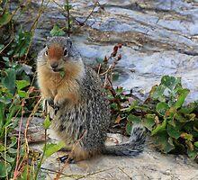 Columbian Ground Squirrel by Charles Kosina