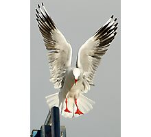 Gull or Angle  Photographic Print
