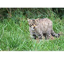 Wildcat Kitten Photographic Print