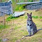 Bennets Wallaby  by Robert-Todd
