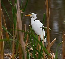 Hidden Egret by byronbackyard