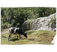 Holstein Cow by a Rock Face Poster