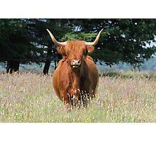 Highland Cattle 1 Photographic Print