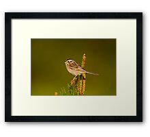 Clay Coloured Sparrow Framed Print