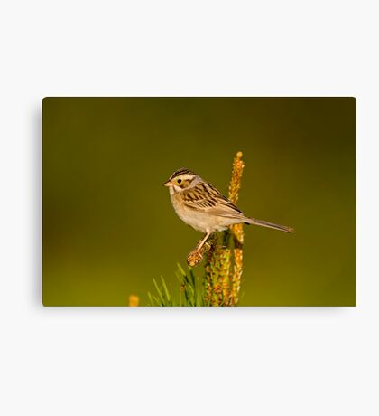 Clay Coloured Sparrow Canvas Print