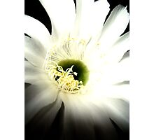 White cactus flower Photographic Print