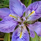 Algerian Iris by Emerald-Cat