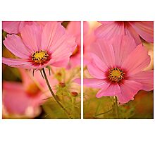 September Cosmea 2013 Photographic Print