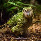 Sirocco the Kakapo by Kimball Chen