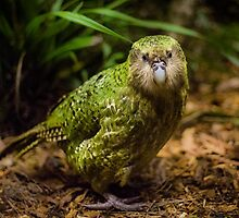 Sirocco the Kakapo by Kimball Chen