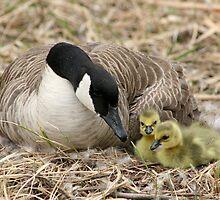 Canada Goose and Two Goslings by rhamm