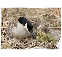 Canada Goose and Two Goslings Poster