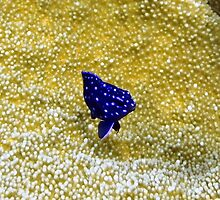 Juvenile Yellowtail Damselfish by Amy McDaniel