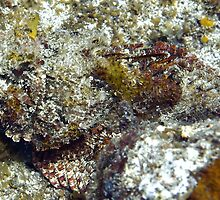 Red Scorpion Fish by Amy McDaniel