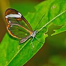 Glasswing Butterfly by M.S. Photography/Art