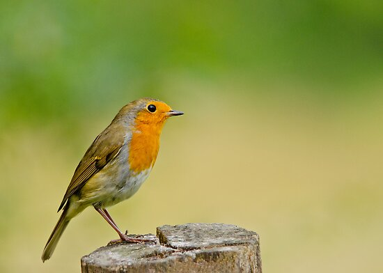 Robin Red Breast by M.S. Photography/Art