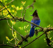 Steller Jay by Bendinglife
