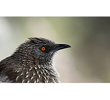 Arrow Marked Babbler profile Photographic Print