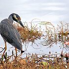 Yellow Crown Night Heron by Rosalie Scanlon