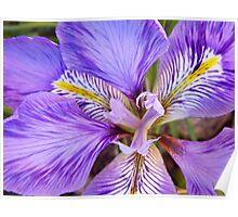 Algerian Iris Poster