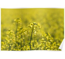 Afternoon Glow - Canola Poster