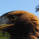 Eagle by Sue Fallon Photography