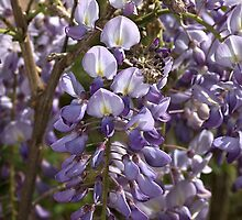 Wisteria Bloom by Joy Watson