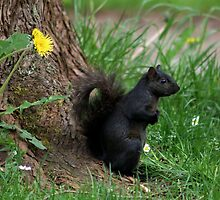 Shading Squirrel and Dandelion by AnnDixon