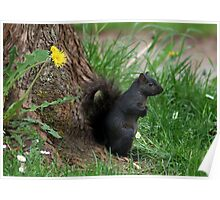 Shading Squirrel and Dandelion Poster