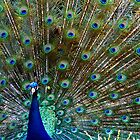 Peacock by mariusvic