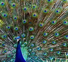 Peacock by mariusvic