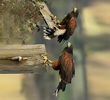 Pair of Harris Hawks by Dave  Knowles
