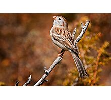 Field Sparrow Photographic Print